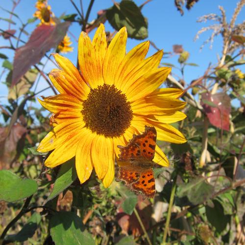 Sonne, Sommer, Sonnenblume
