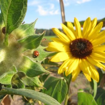 Sonnenblume & Marienkäfer