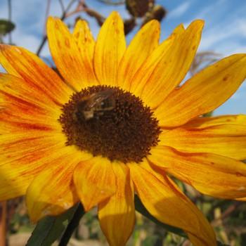 Sonnenblume & Biene