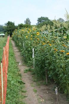 Sonnenblumenreihe