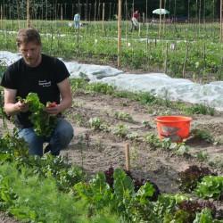 Mangold Gemüseernte - Juni 2016