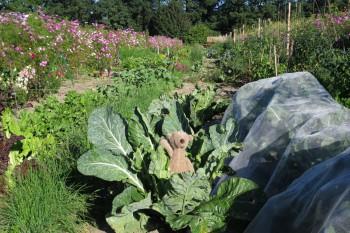 Gemüsereihen auf dem Acker - August 2016
