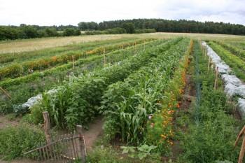 Gemüsereihen auf dem Acker - Juli 2016