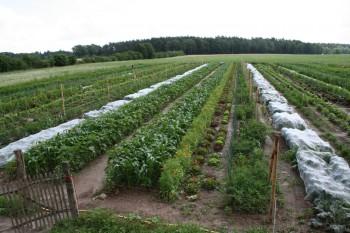 Gemüsereihen auf dem Acker - Juni 2016