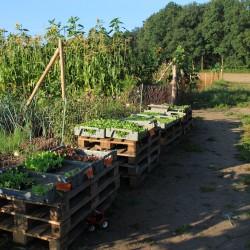Jungpflanzen für den Acker - August 2016