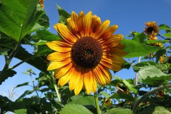 Sonnenblume auf dem Kultgemüseacker - August 2016