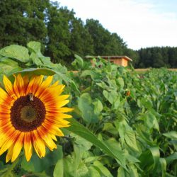 Sonnenblume auf dem Kultgemüseacker 2017