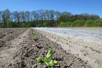 Gemüsereihe Salatsetzlinge im Mai