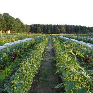 Gemüsereihen auf dem Acker