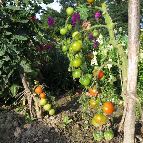Tomaten auf dem Acker
