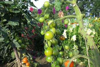 Tomaten im Juli