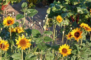 Kultgemüse Sonnenblumen