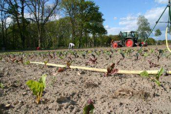 Mangold im Vordergrund, Handarbeit im Hintergrund - Unkraut zupfen gehört zum Ökogemüseanbau stets dazu.