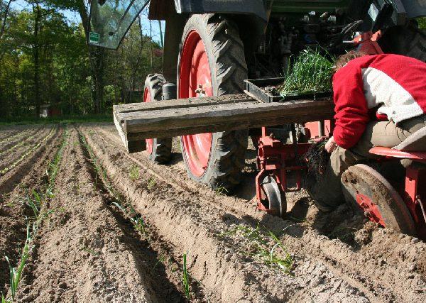 Beim Lauch pflanzen - bis es echte Porree Stangen sind, muss noch ein wenig Zeit vergehen.